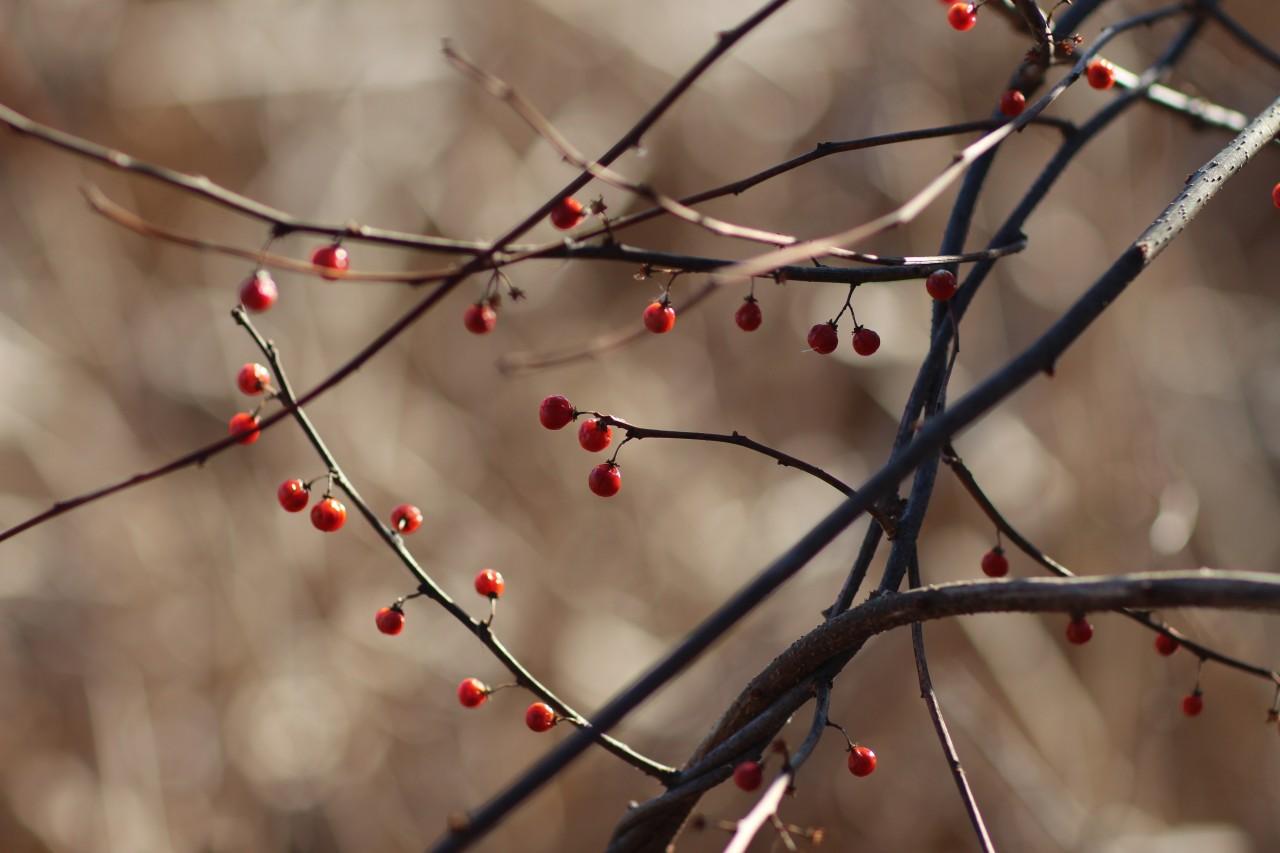 winter-berry